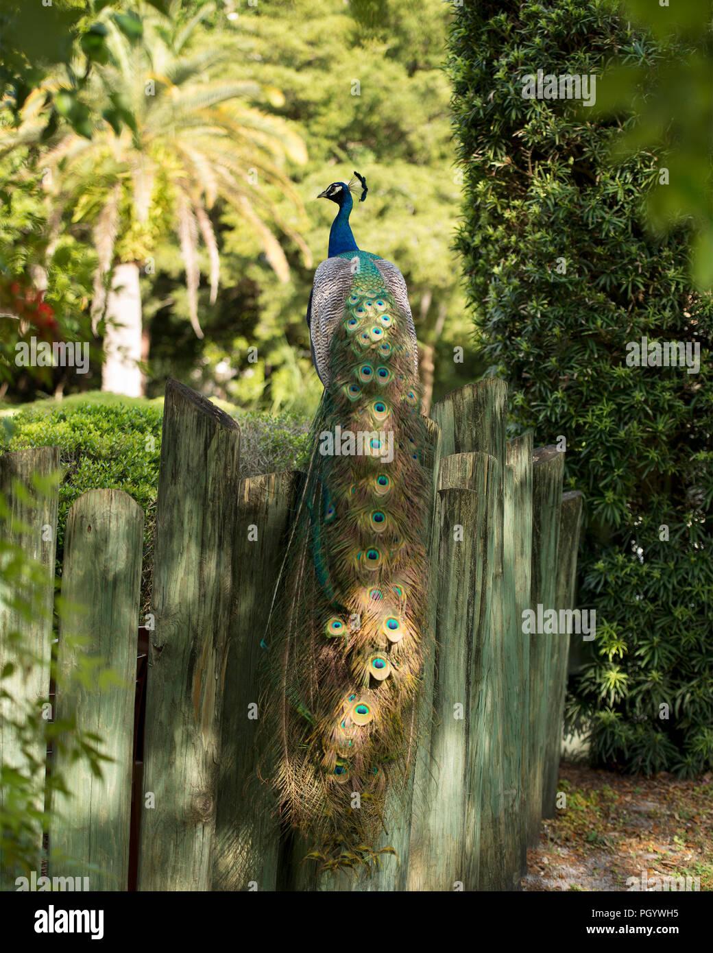 Peacock bird, the beautiful colorful bird. Stock Photo