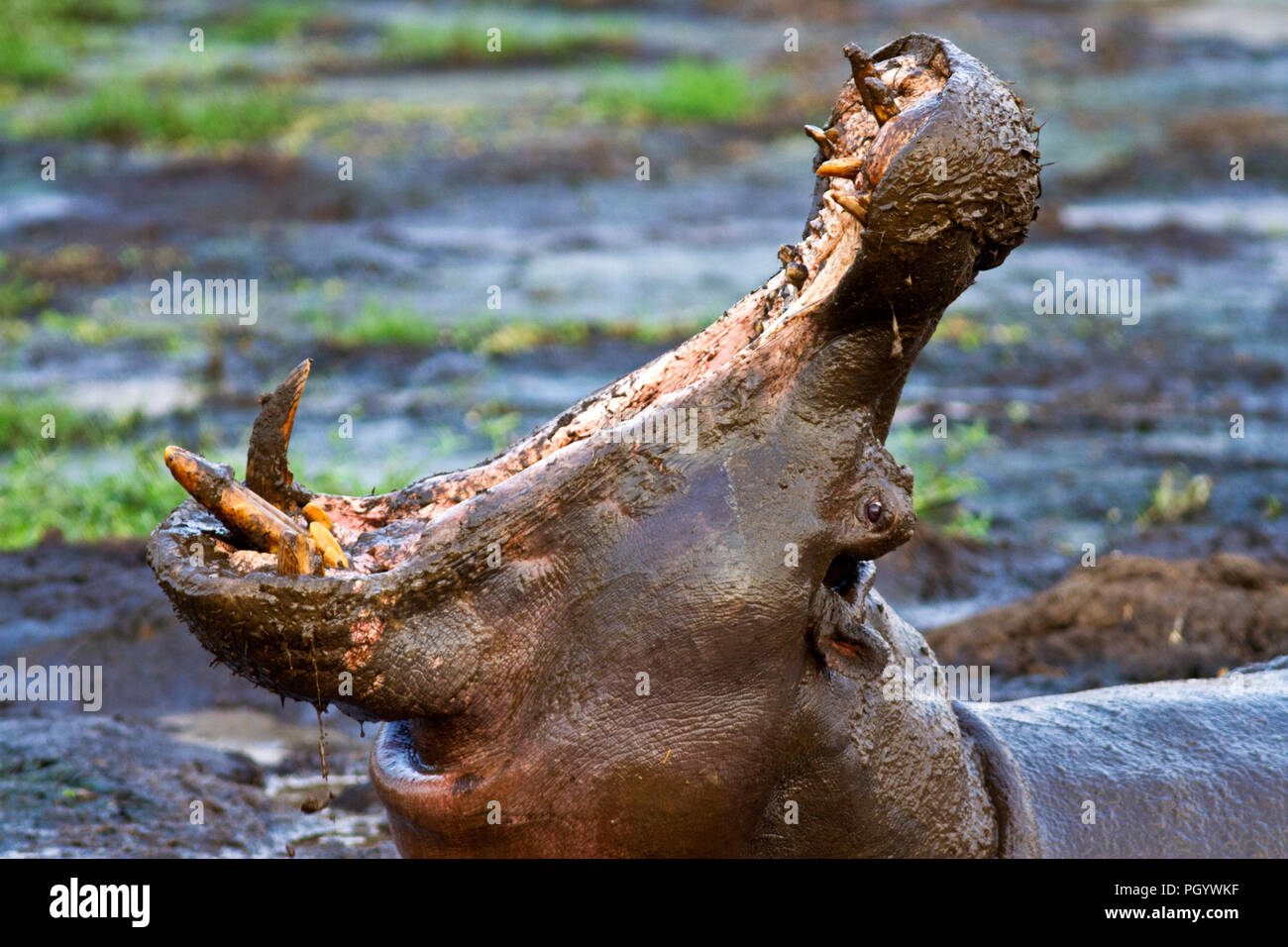A hippo bull makes an exaggerated yawning gesture which is a clear threat display to make other rival males aware of his presence and readiness to def - Stock Image