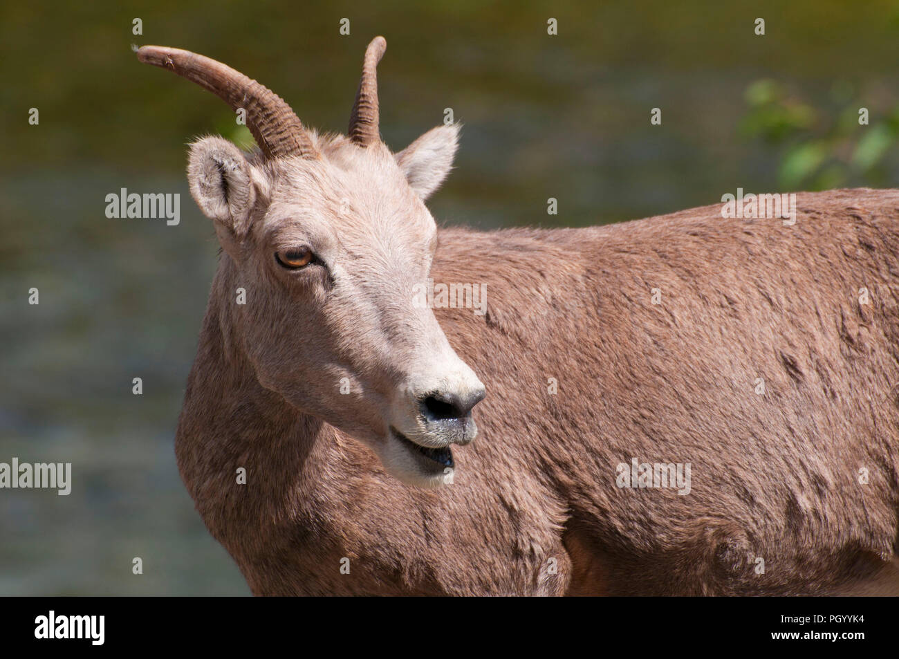 Bighorn sheep near Thompson River, Lolo National Forest, Montana Stock Photo