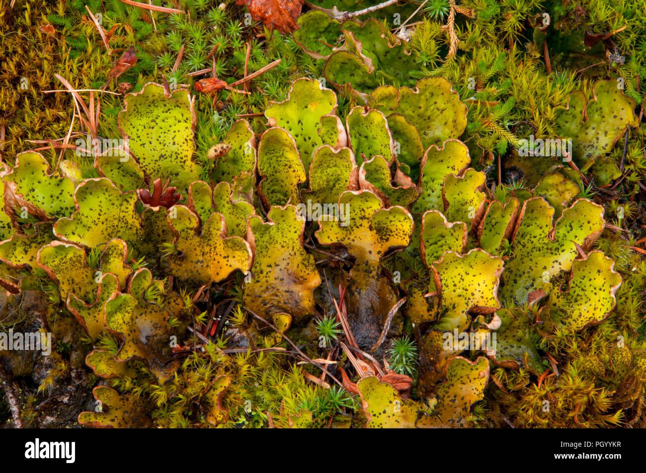 Lichen along Cascade Falls Trail (Iron Mountain Road), St