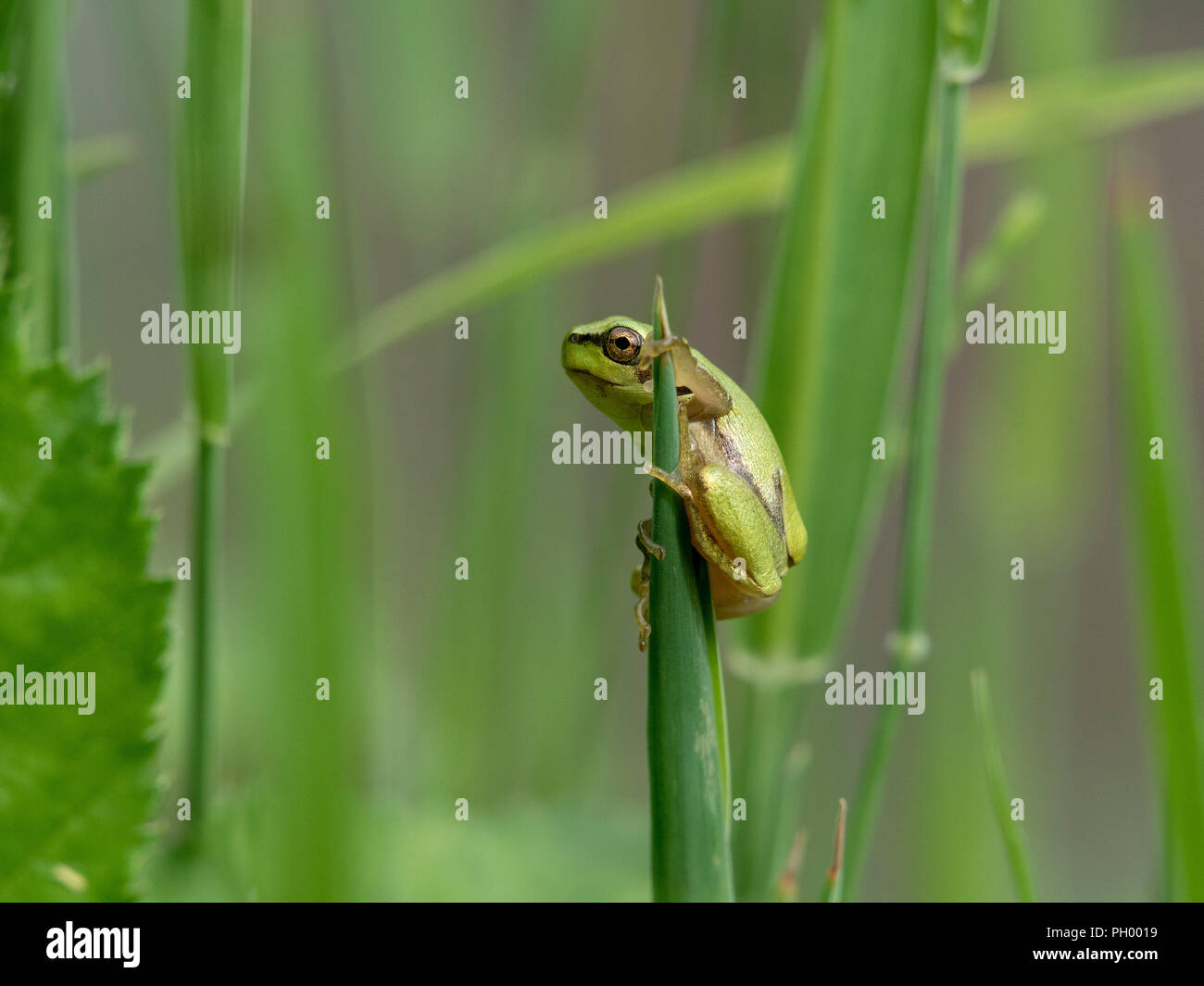 tree frog perched on a grass stalk - Stock Image