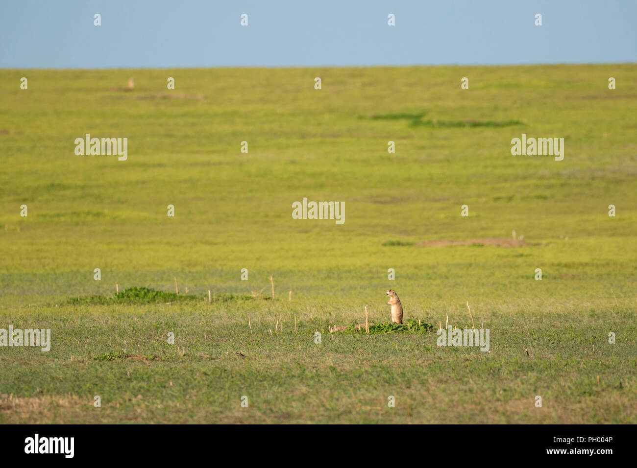 Prairie dog, First Peoples Buffalo Jump State Park, Montana - Stock Image
