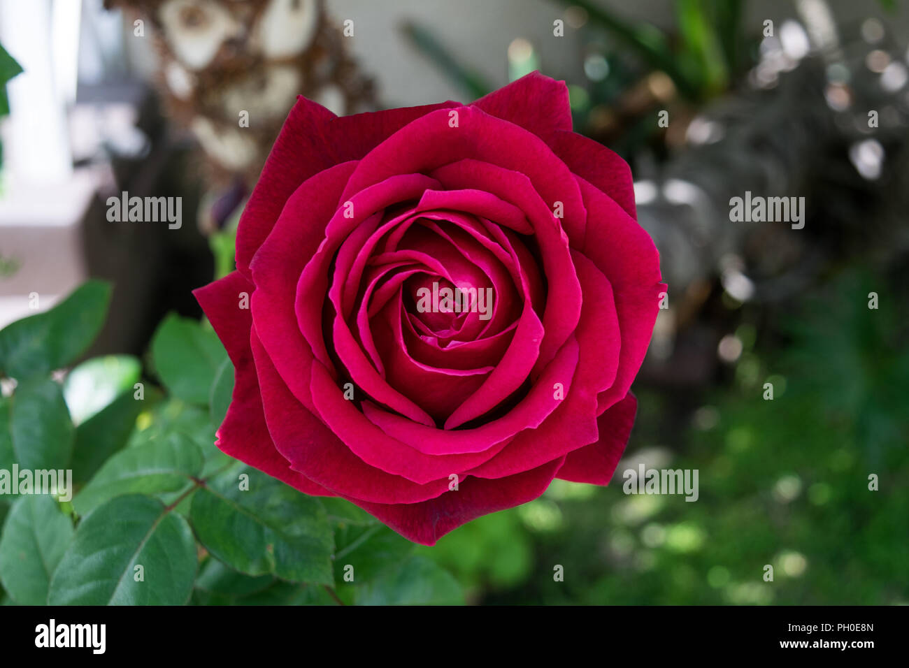 Florals captured in the state of california exotic roses and florals captured in the state of california exotic roses and different beautiful flowers to adorn any layout izmirmasajfo