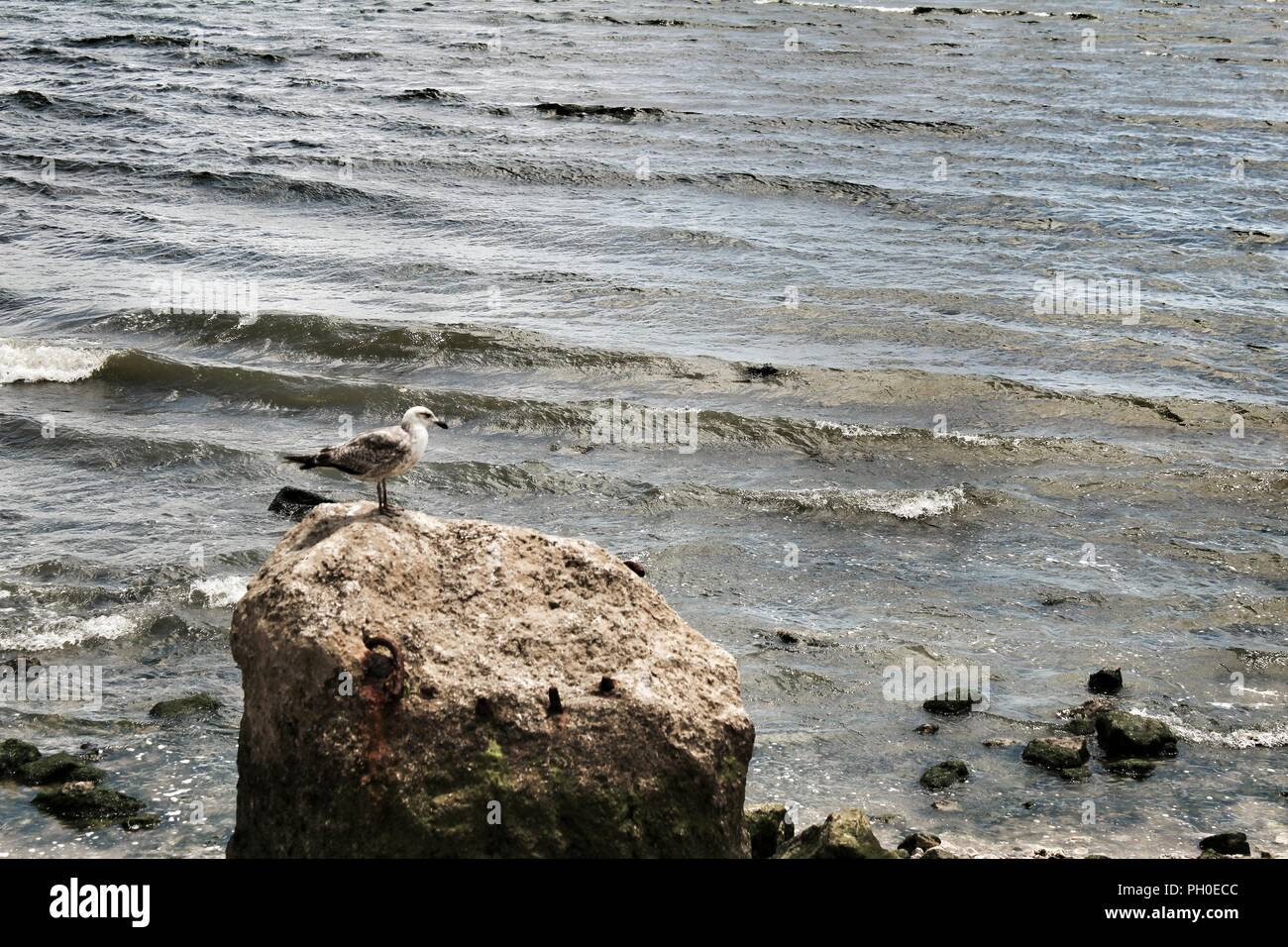 Seagull perched on a stone with algae on the bank of the Tagus River in Lisbon, Portugal Stock Photo
