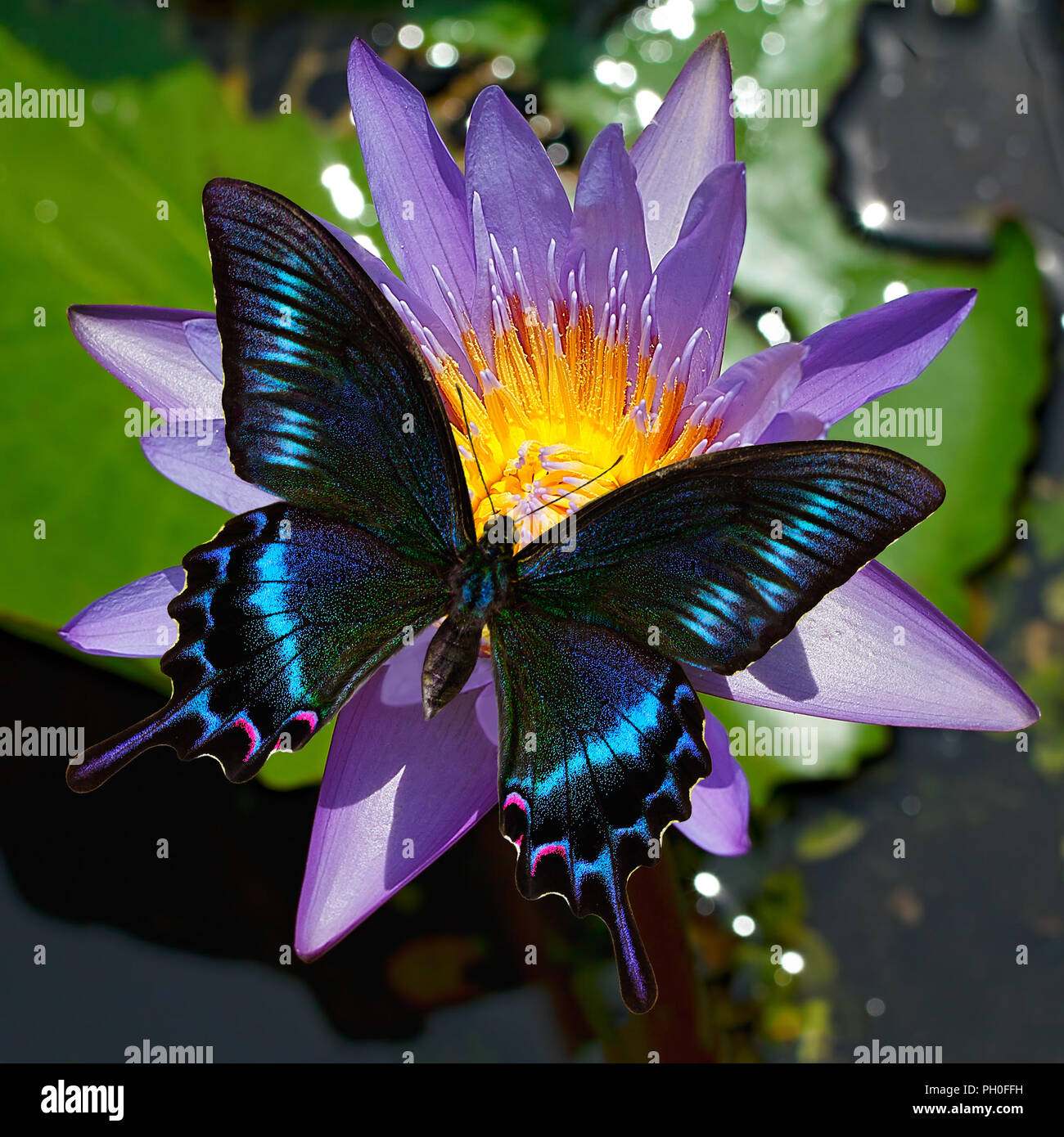 Papilio Maackii or alpine black swallowtail butterfly, Papilionidae, on a water lily or Nymphaea flower, Far East, Russia. It is also found in Central - Stock Image