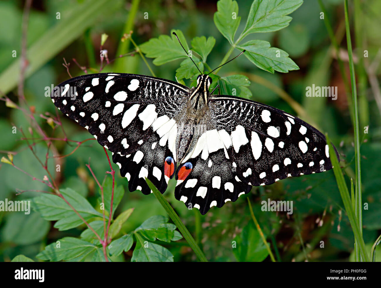 Papilio demoleus Linnaeus, 1758, Papilionidae family, or white lime butterfly in green grass and leaves. - Stock Image