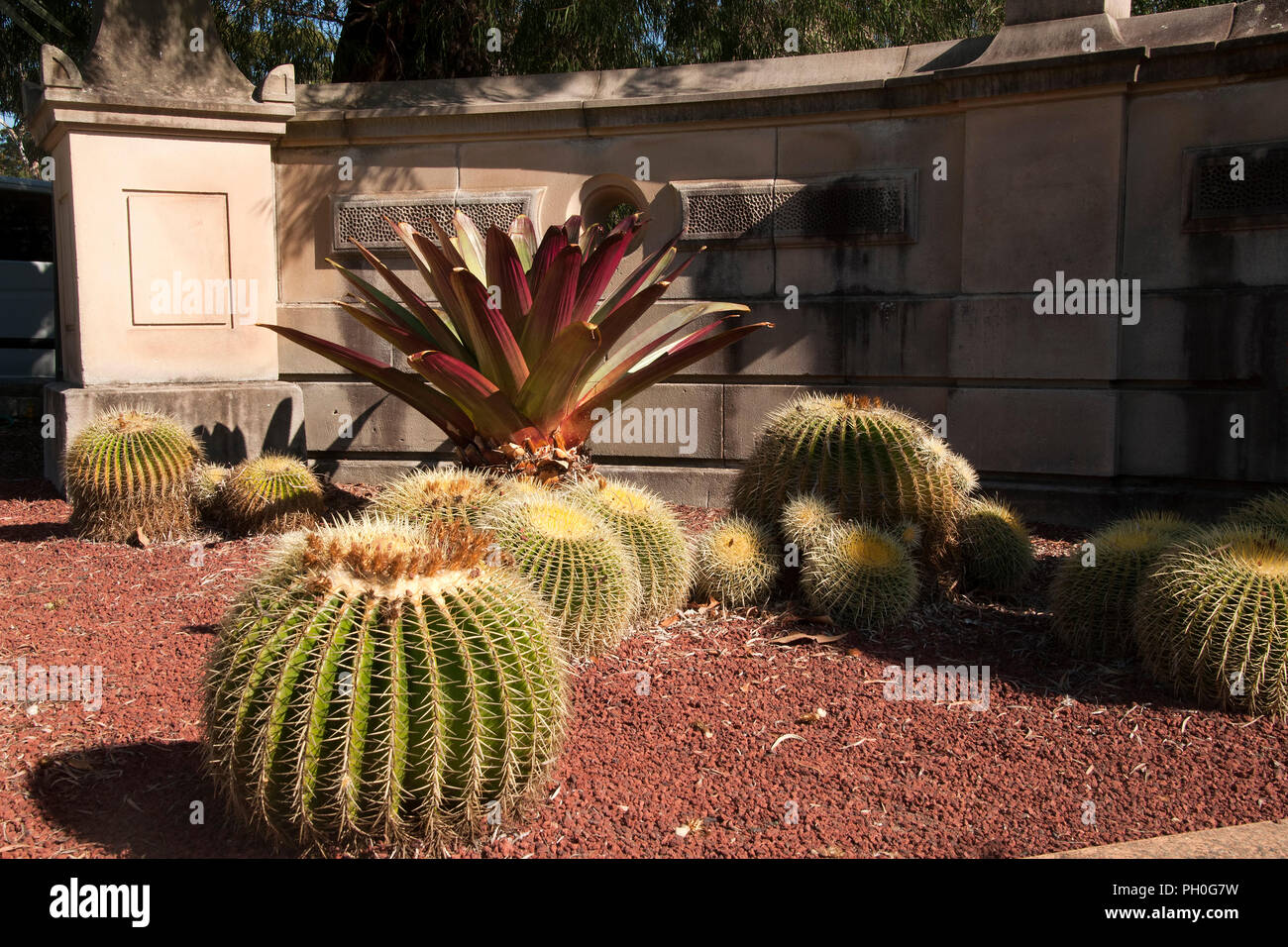 Sydney Australia, Barrel Cactus in botanical gardens with sandstone wall in background Stock Photo