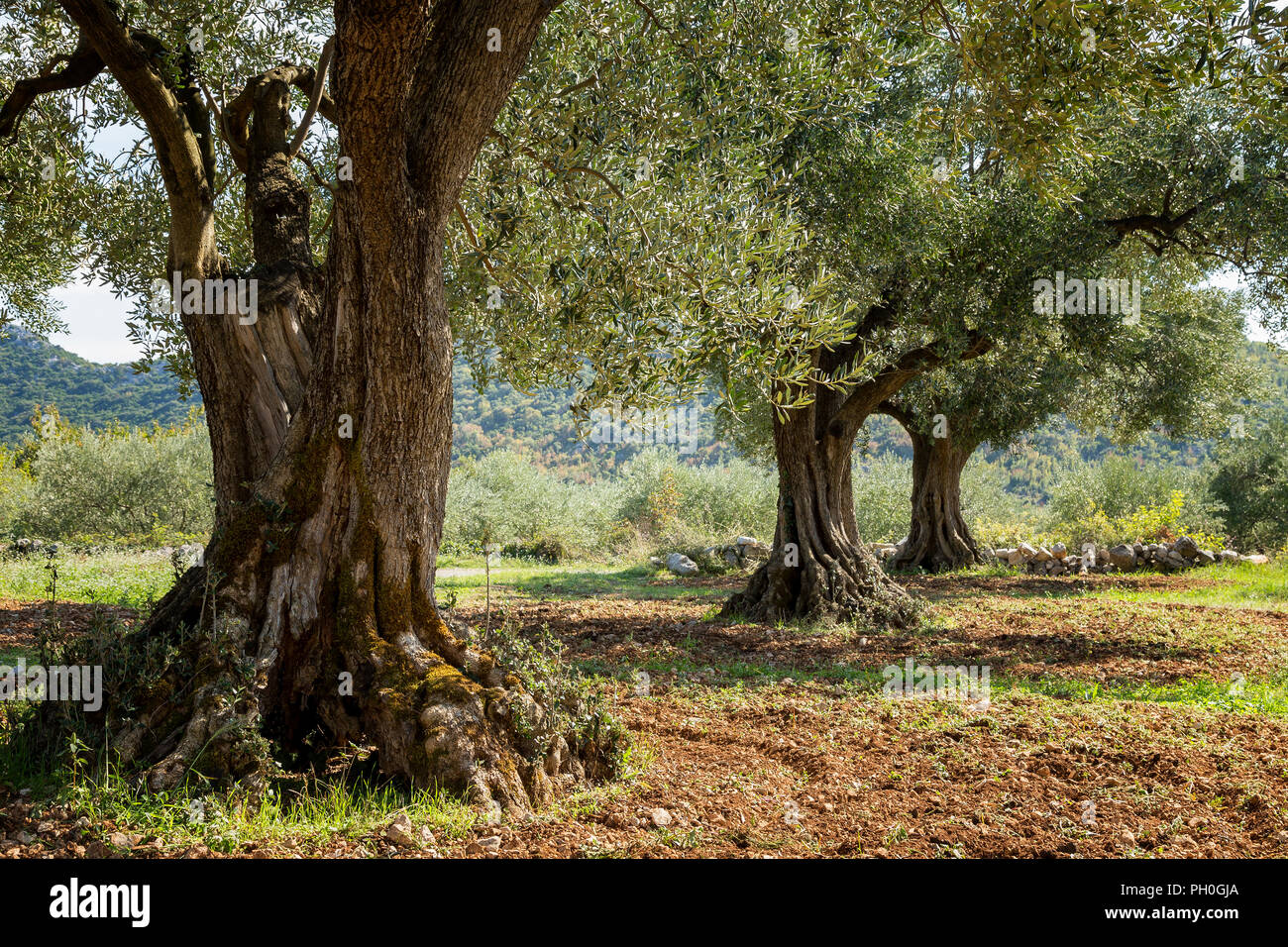 Ancient Olive Grove Stock Photos & Ancient Olive Grove Stock Images ...