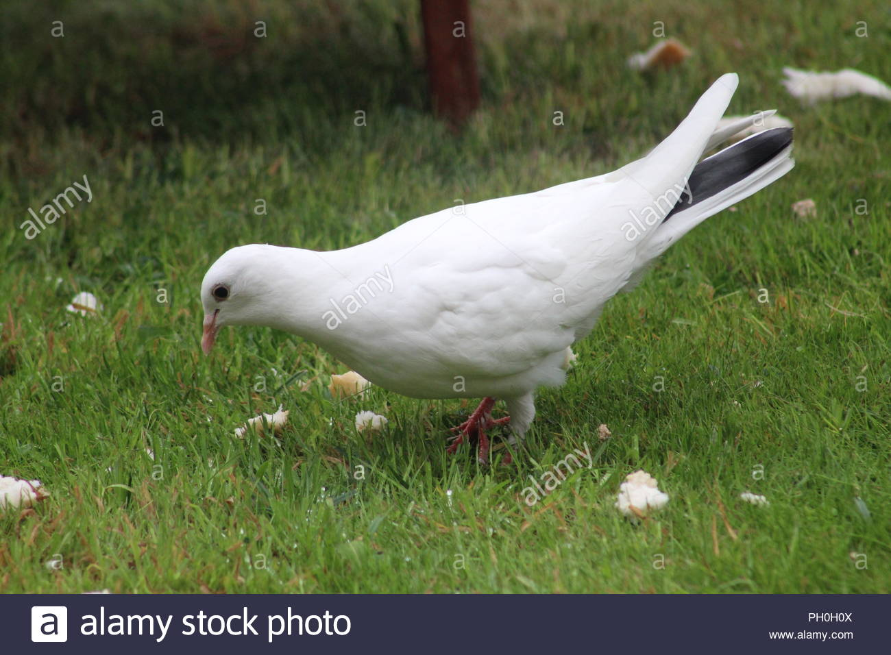 White dove in the Garden - Stock Image