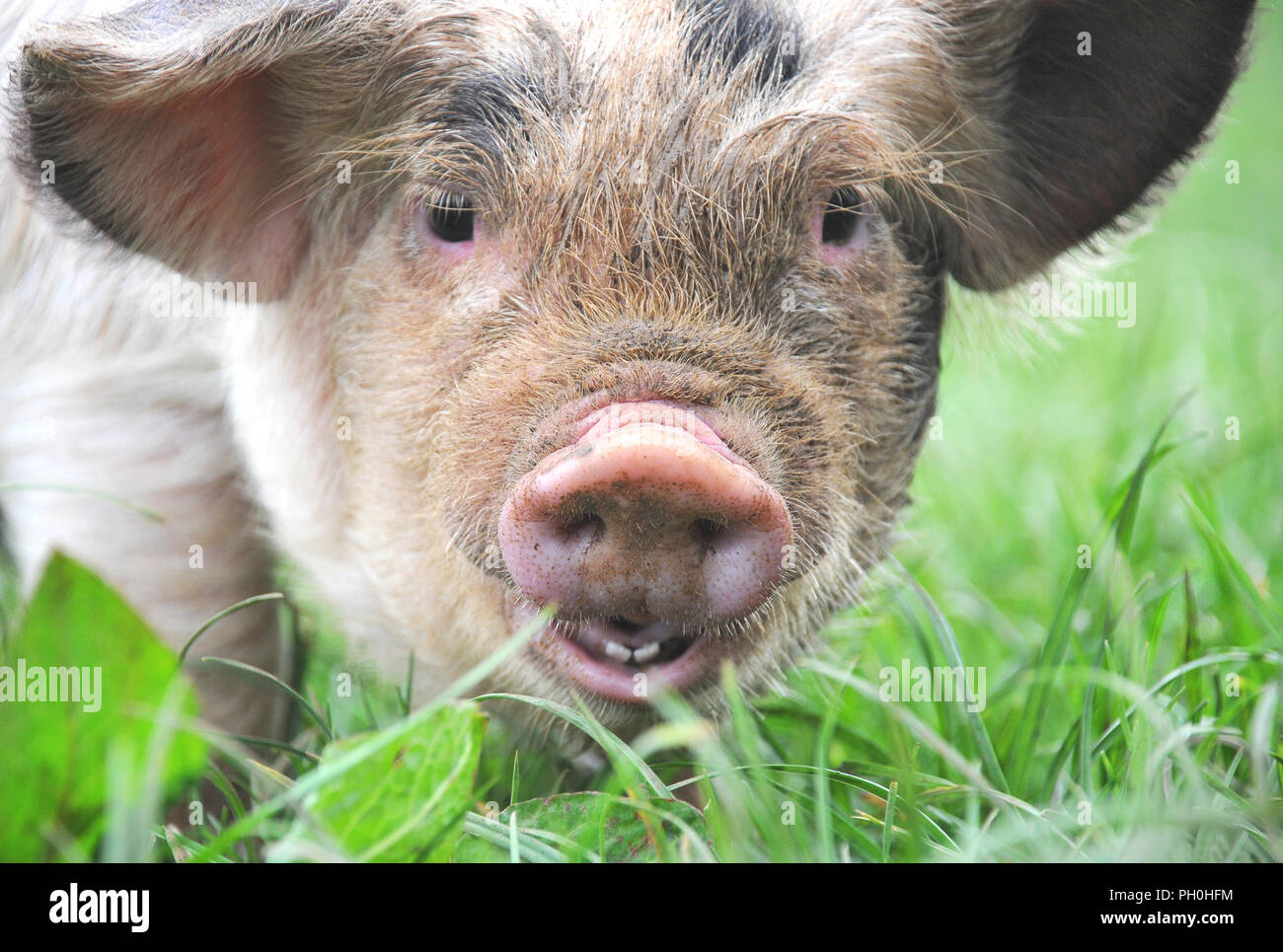 close up of a cute young kune kune piglet in a field - Stock Image