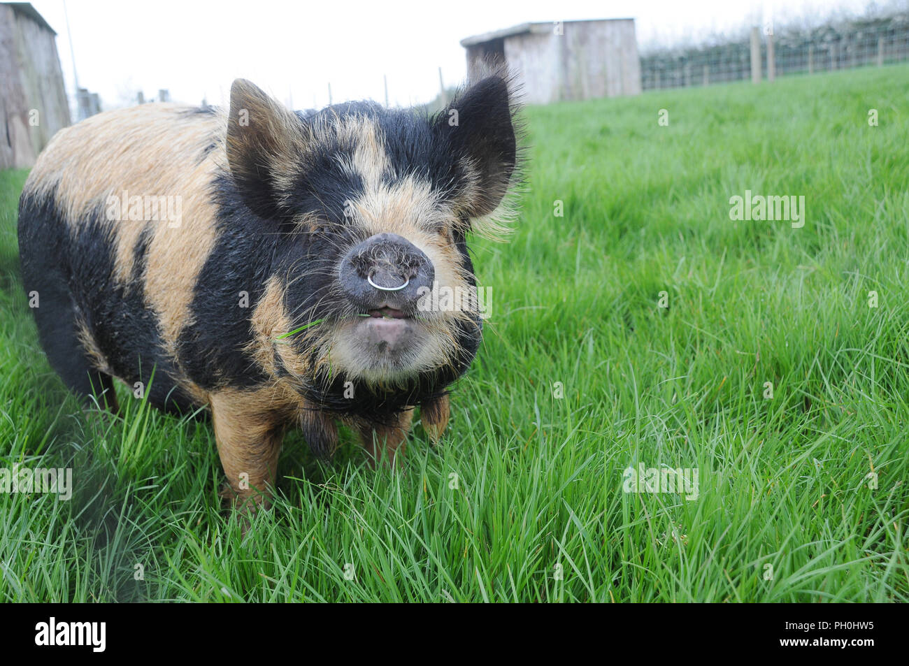 A Kune Kune pig with a ring in it's nose stood grazing in a field - Stock Image