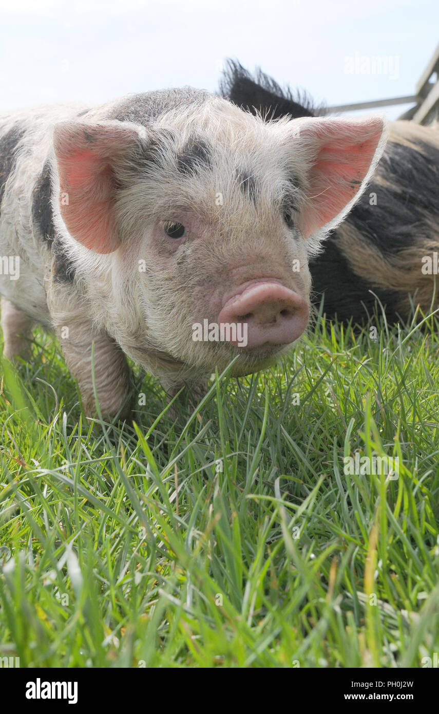 A young kunekune piglet stood in a field - Stock Image