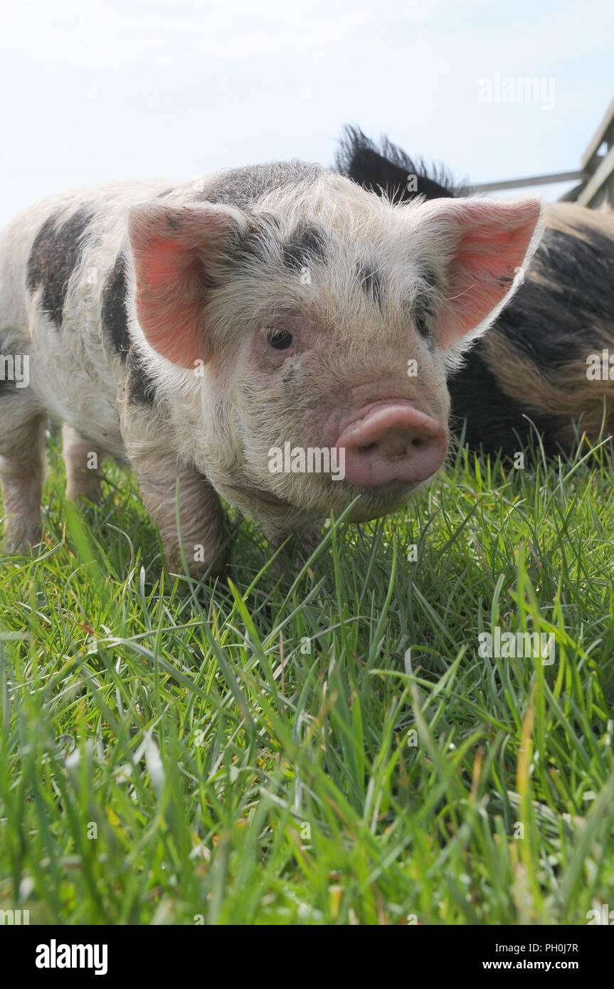 A cute young Kune Kune piglet in a field - Stock Image