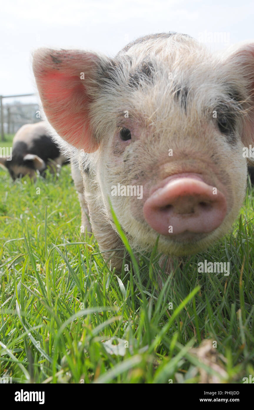 A very cute young kune kune piglet sttod in a field looking at the camera - Stock Image