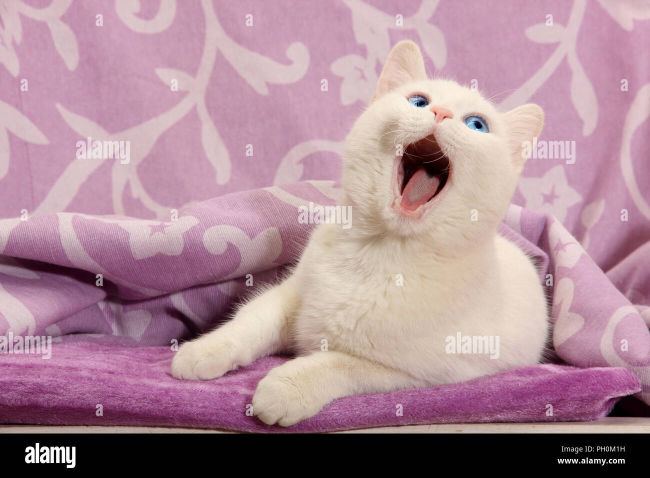 white cat yawning - Stock Image