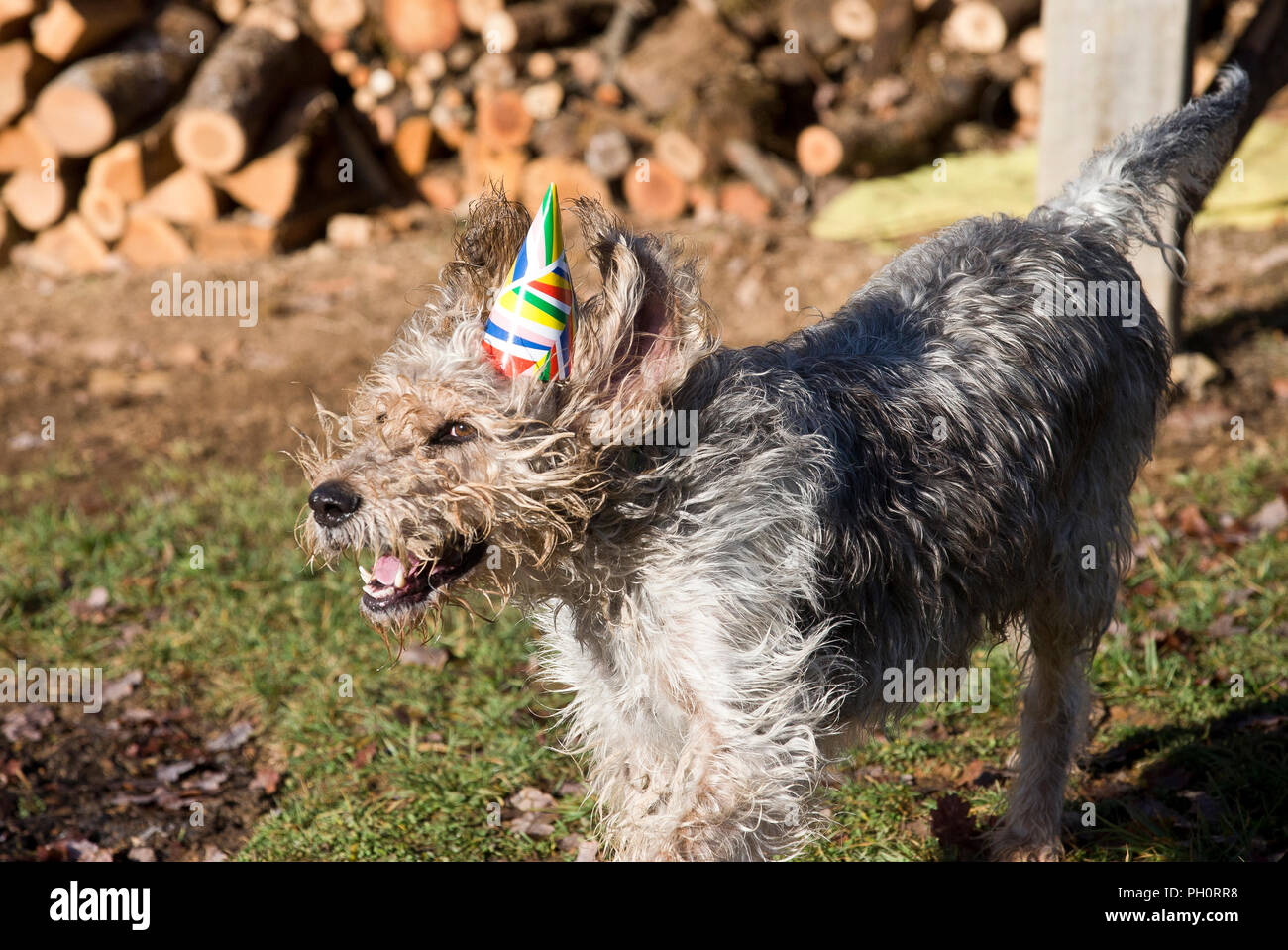 Athos the griffon goes to a Christmes party at doggy playgroup in Varen, Tarn et Garonne, Occitanie, France, Europe - Stock Image