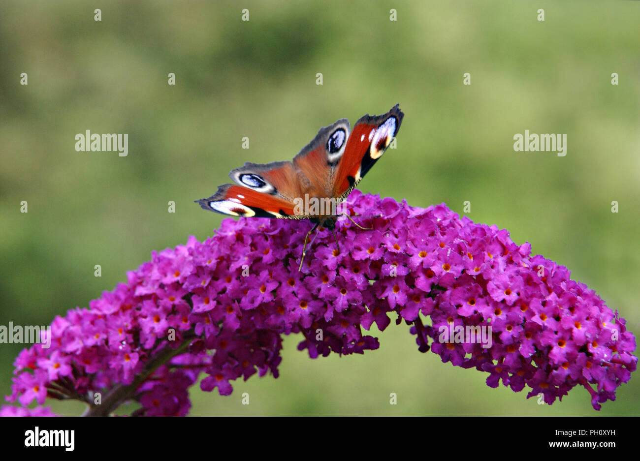 A royal admiral english butterfly rests on a flowering Buddleia bush in an english garden - Stock Image
