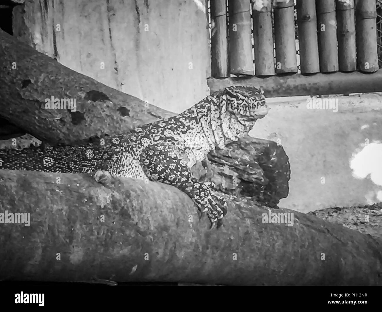 The Nile monitor (Varanus niloticus) , also called the African small-grain lizard at the public zoo. - Stock Image