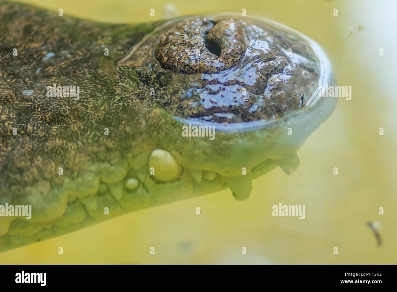 Nose of Saltwater or Estuarine Crocodile (crocodylus porosus) in the water - Stock Image