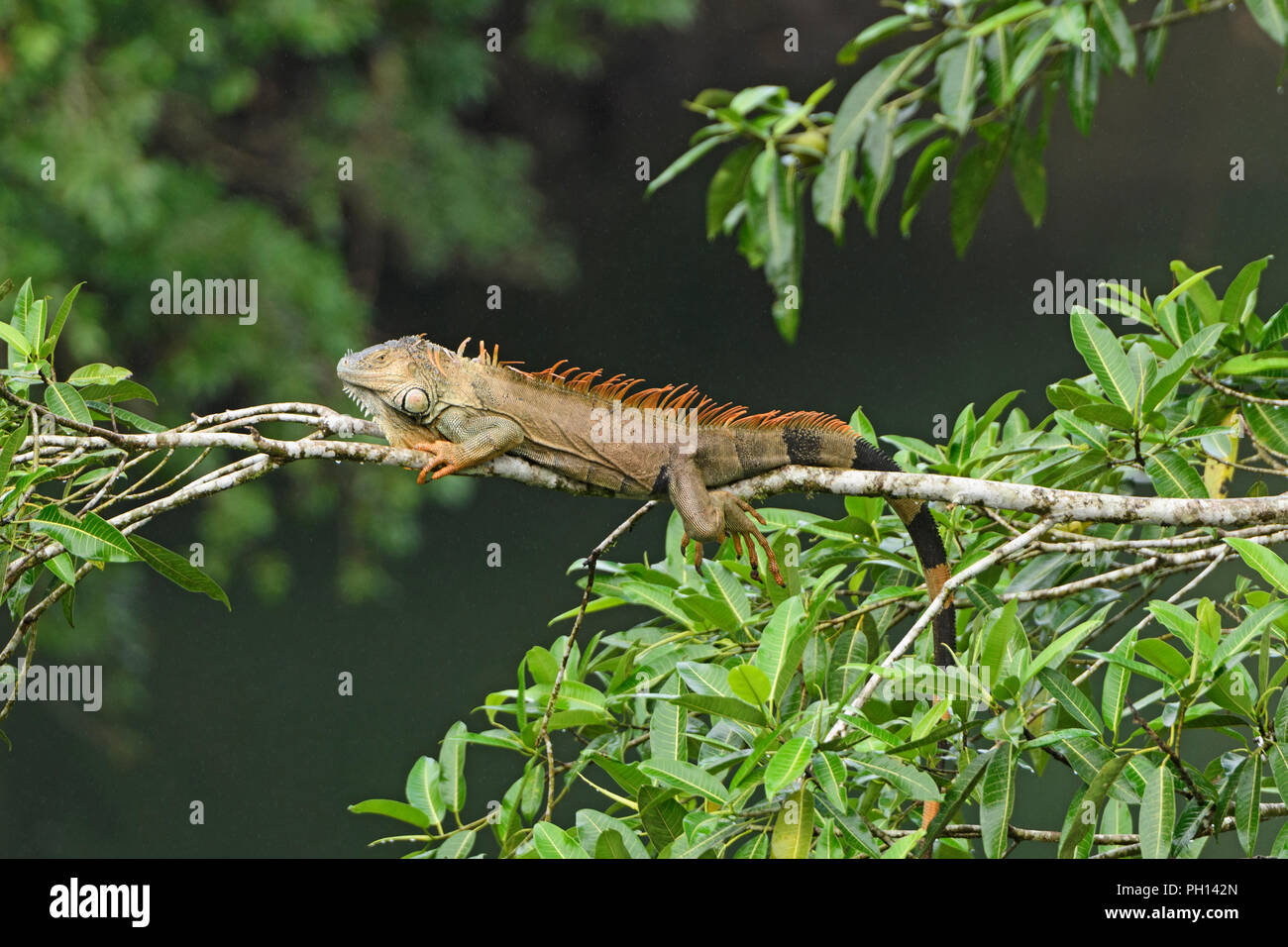 Iguana in a rain forest tree in La Selva Biological Reserve in Costa Rica Stock Photo