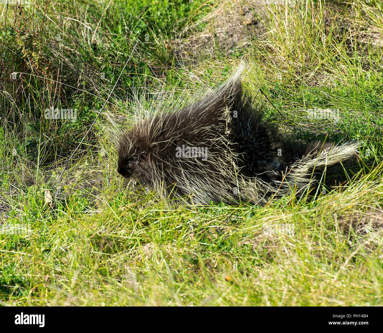 Porcupine in its environment. - Stock Image