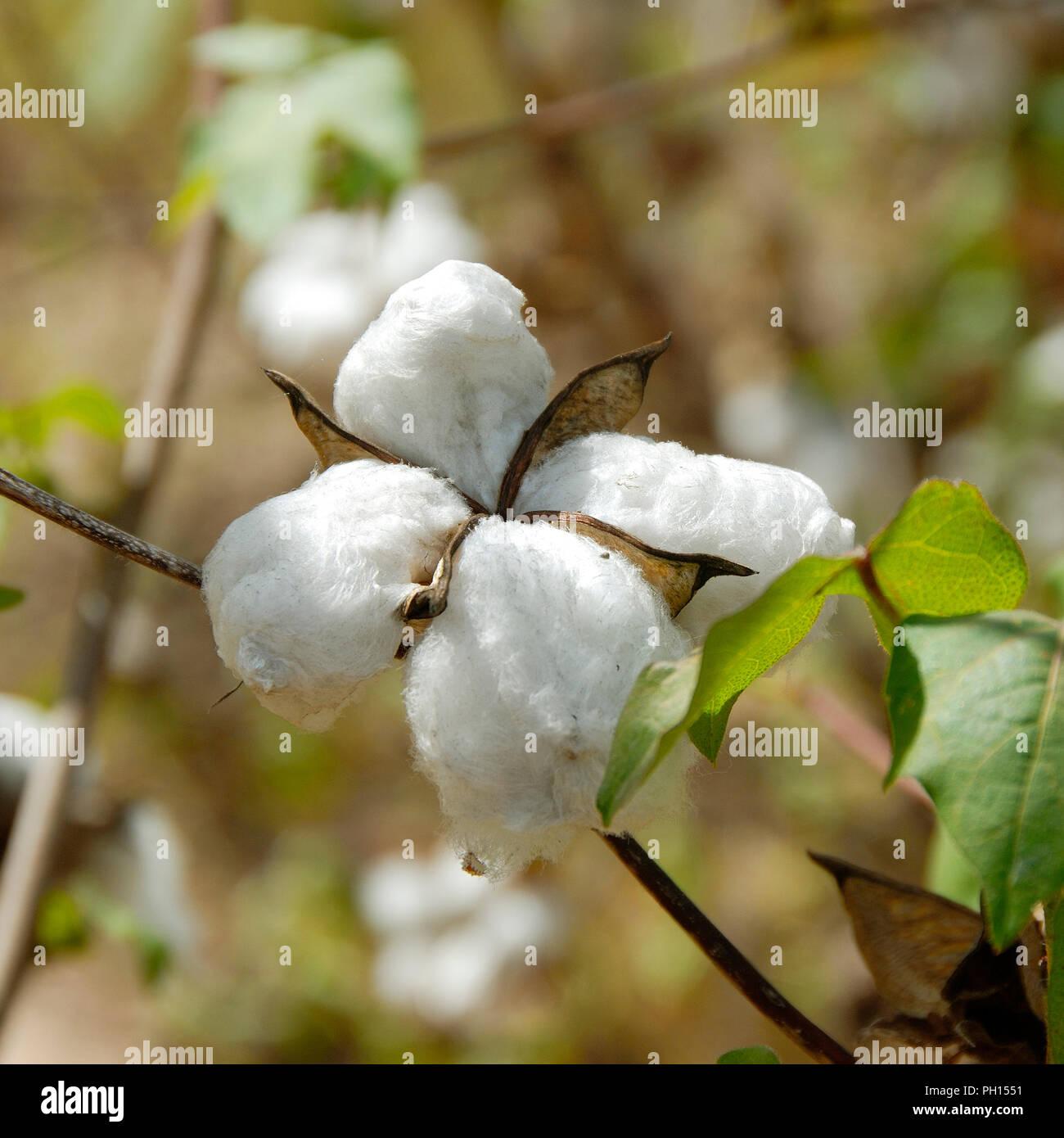 Cotton fields near Ségou, Mali. West Africa - Stock Image