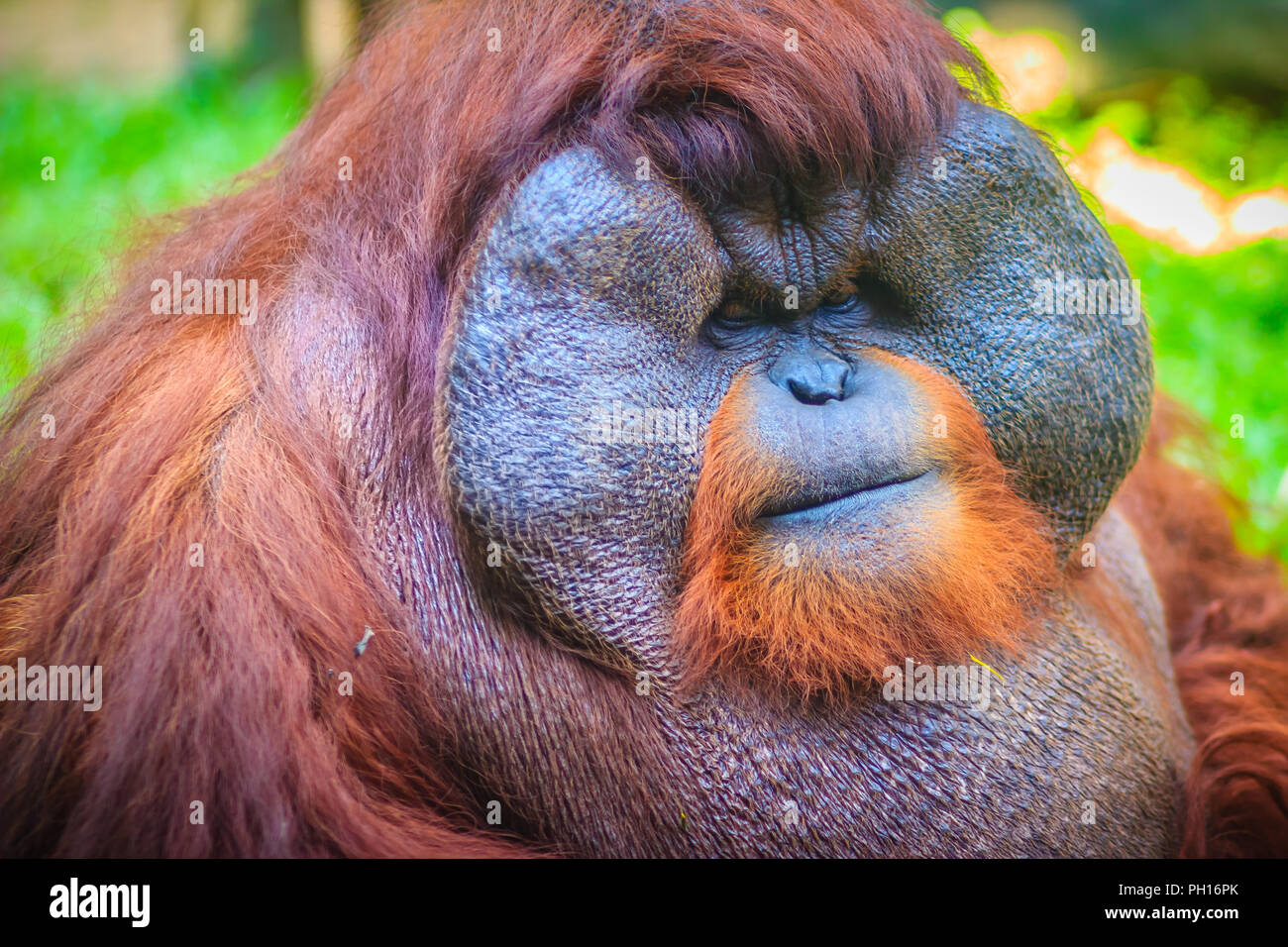 Close up to face of dominant male, Bornean orangutan (Pongo pygmaeus) with the signature developed cheek pads that arise in response to a testosterone Stock Photo