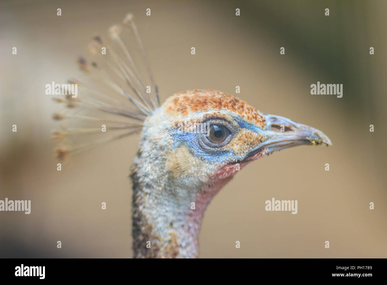 Young pied peafowl. Albino juvenile peacock. - Stock Image
