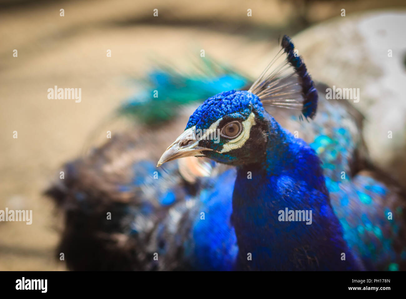 Close up to beautiful face of young peacock male with blue plumage. Stock Photo