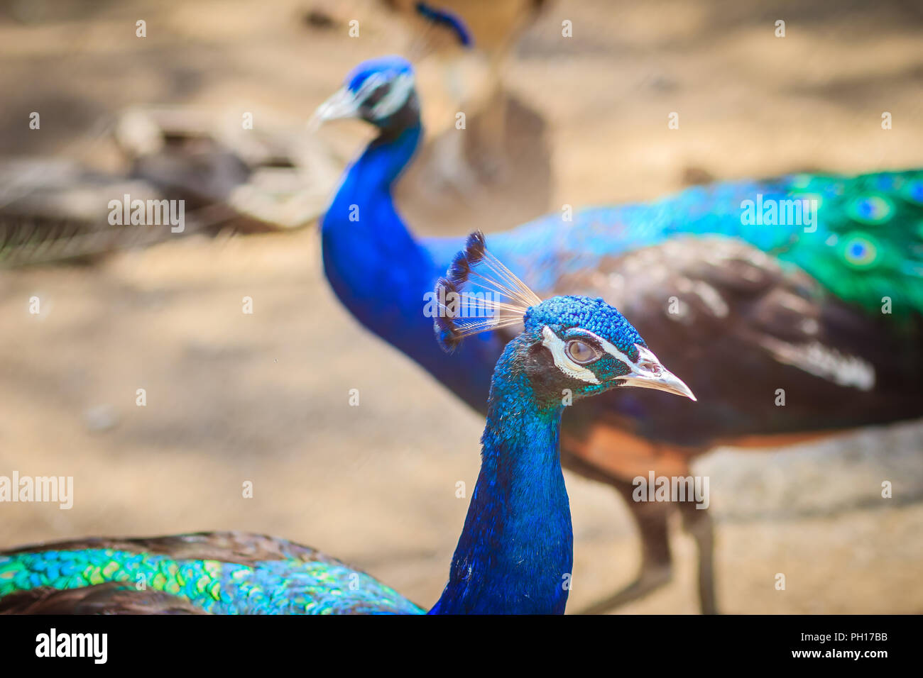Close up to beautiful face of young peacock male with blue plumage. - Stock Image