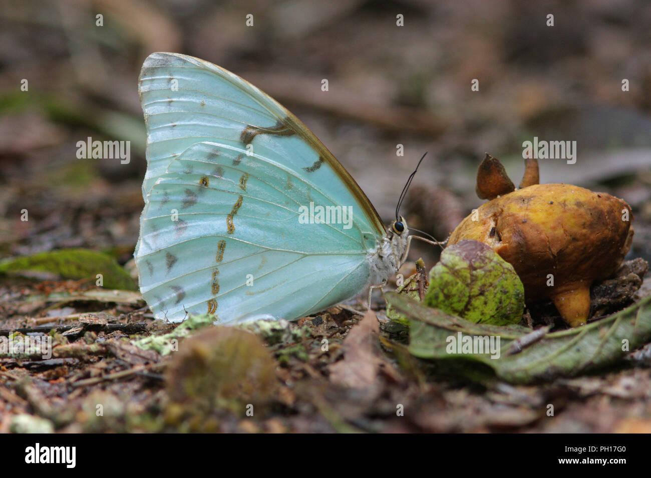 Bộ sưu tập cánh vẩy 6 - Page 5 Morpho-butterfly-morpho-laertes-single-adult-feeding-on-rotten-fruit-taken-april-atlantic-rainforest-brazil-PH17G0