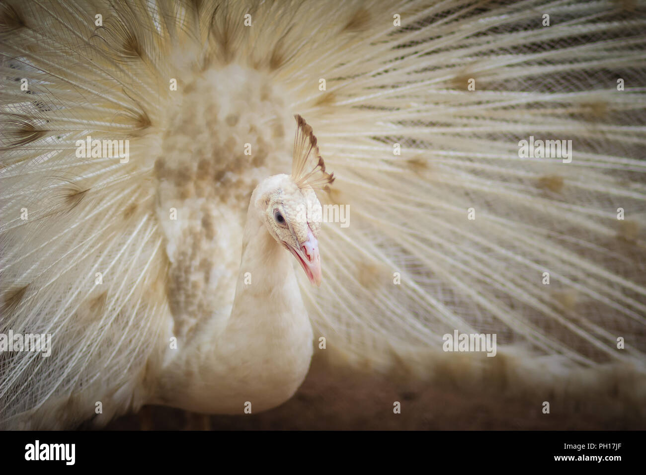 Beautiful white peafowl with feathers out. White male peacock with spread feathers. Albino peacock with fully opened tail. - Stock Image