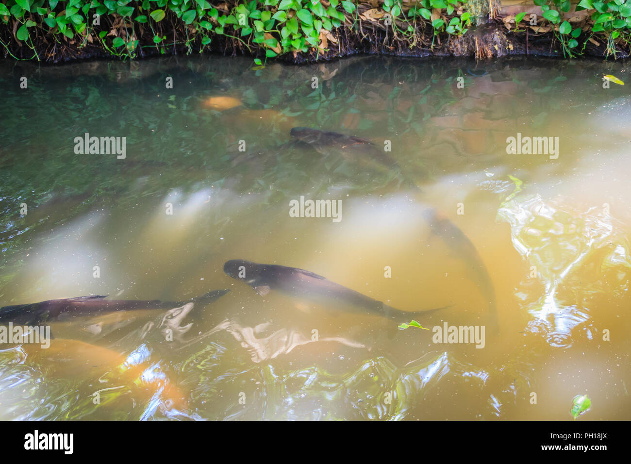 School of fishes in the clear freshwater canal with natural green bank and sunlight reflection. Peaceful canal surrounded by green nature and fishes s Stock Photo