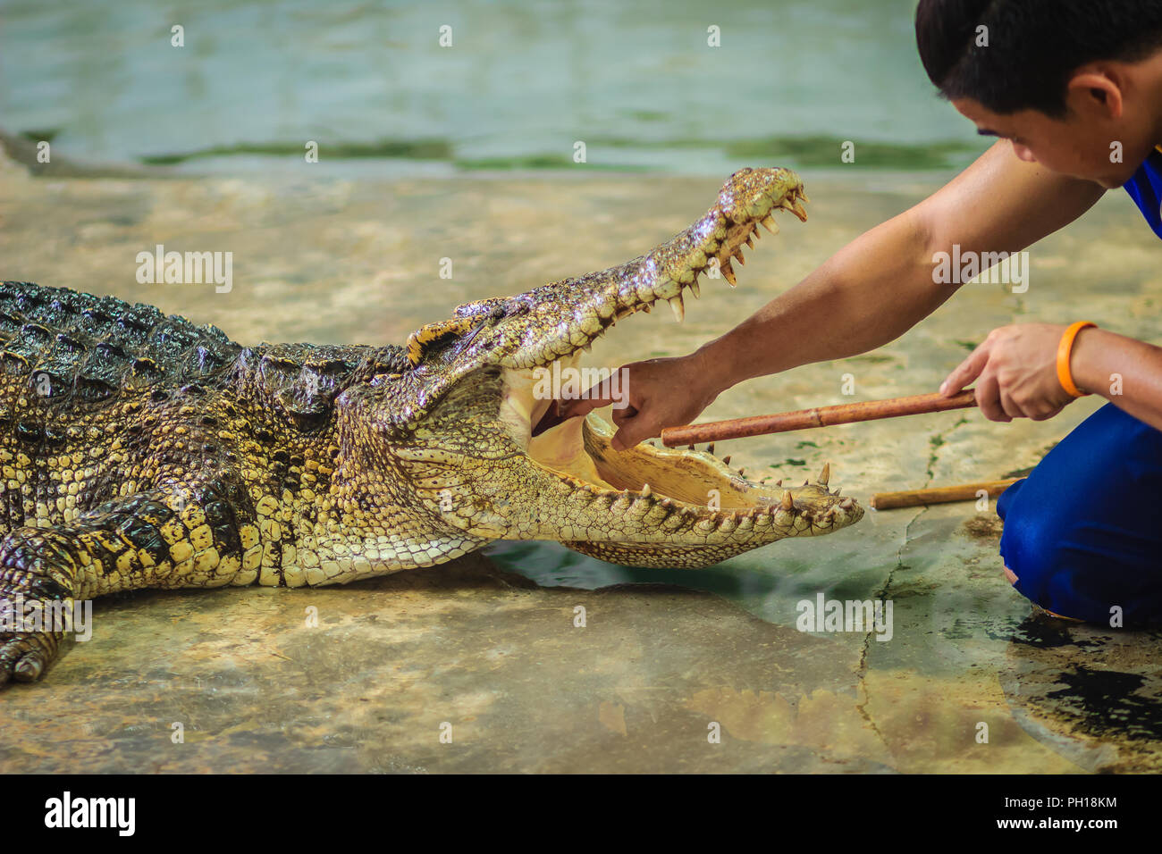 Showman using his hand to delve to the throat of the opened mouth's crocodile. The stuntman puts his hand into the crocodile's mouth. - Stock Image