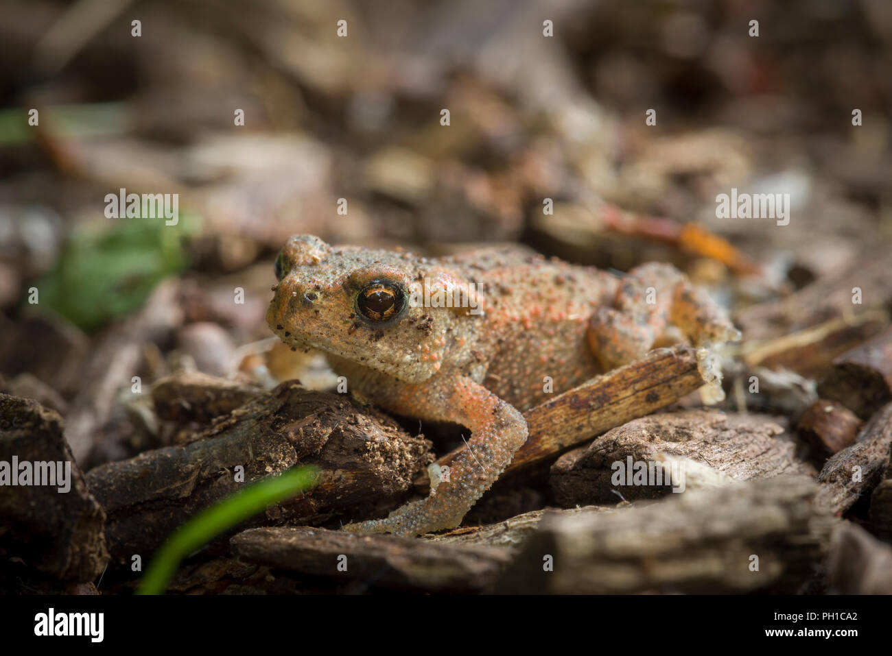 Juvenile Common Toad (Bufo bufo) on woodland floor at Shapwick Heath, Somerset, England. - Stock Image