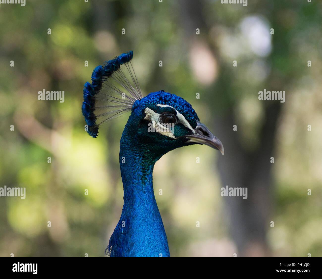 Peacock bird close up enjoying its surrounding. Stock Photo