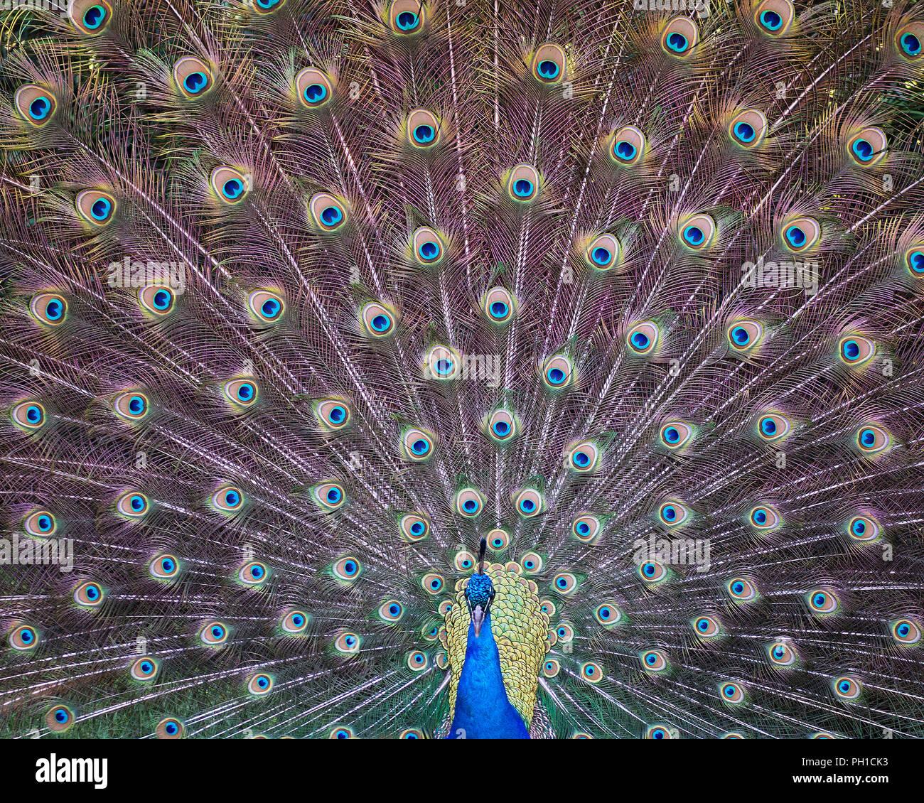 Peacock bird displaying his plumage and enjoying its surrounding. Stock Photo