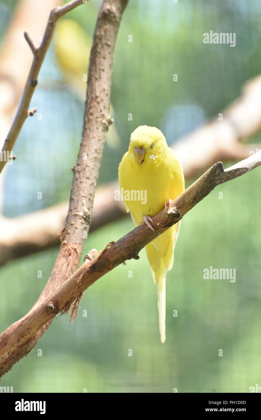 Precious Budgie Parakeet Bird Resting in a Tree - Stock Image