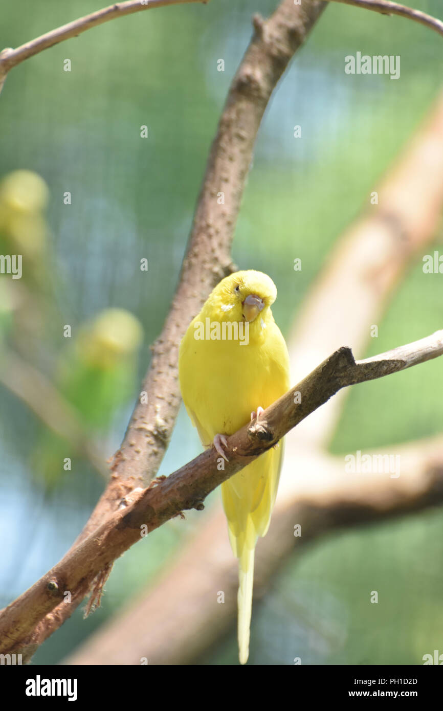 Precious Yellow Budgie Bird Up Close in Nature - Stock Image