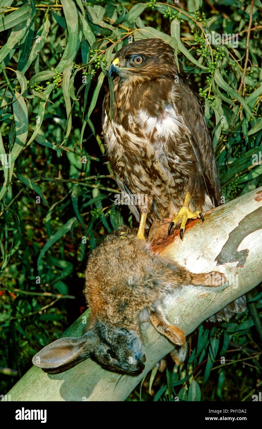 Common buzzard (Buteo buteo) with a hunted rabbit. Southern Spain. Europe - Stock Image