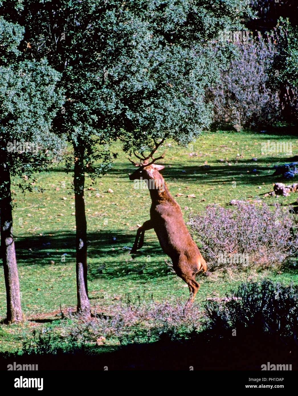 A Red deer hits an holm oak with the horns to get acorns. Sierras de Cazorla, Segura y Las Villas Natural Park. Jaen province. Region of Andalusia. Sp - Stock Image