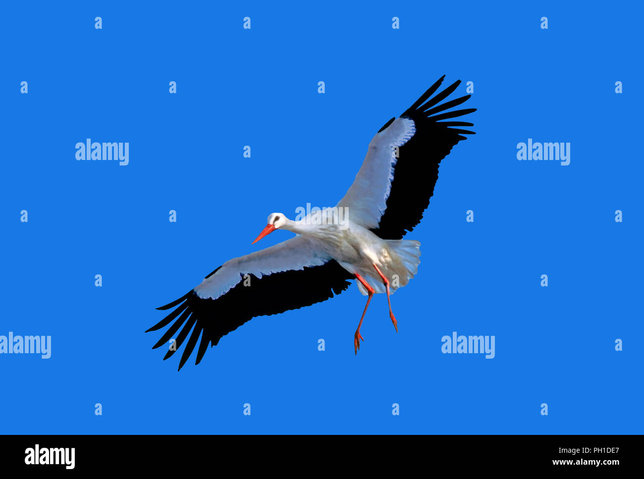 White stork (Ciconia ciconia) in flight. Southern Spain. Europe - Stock Image