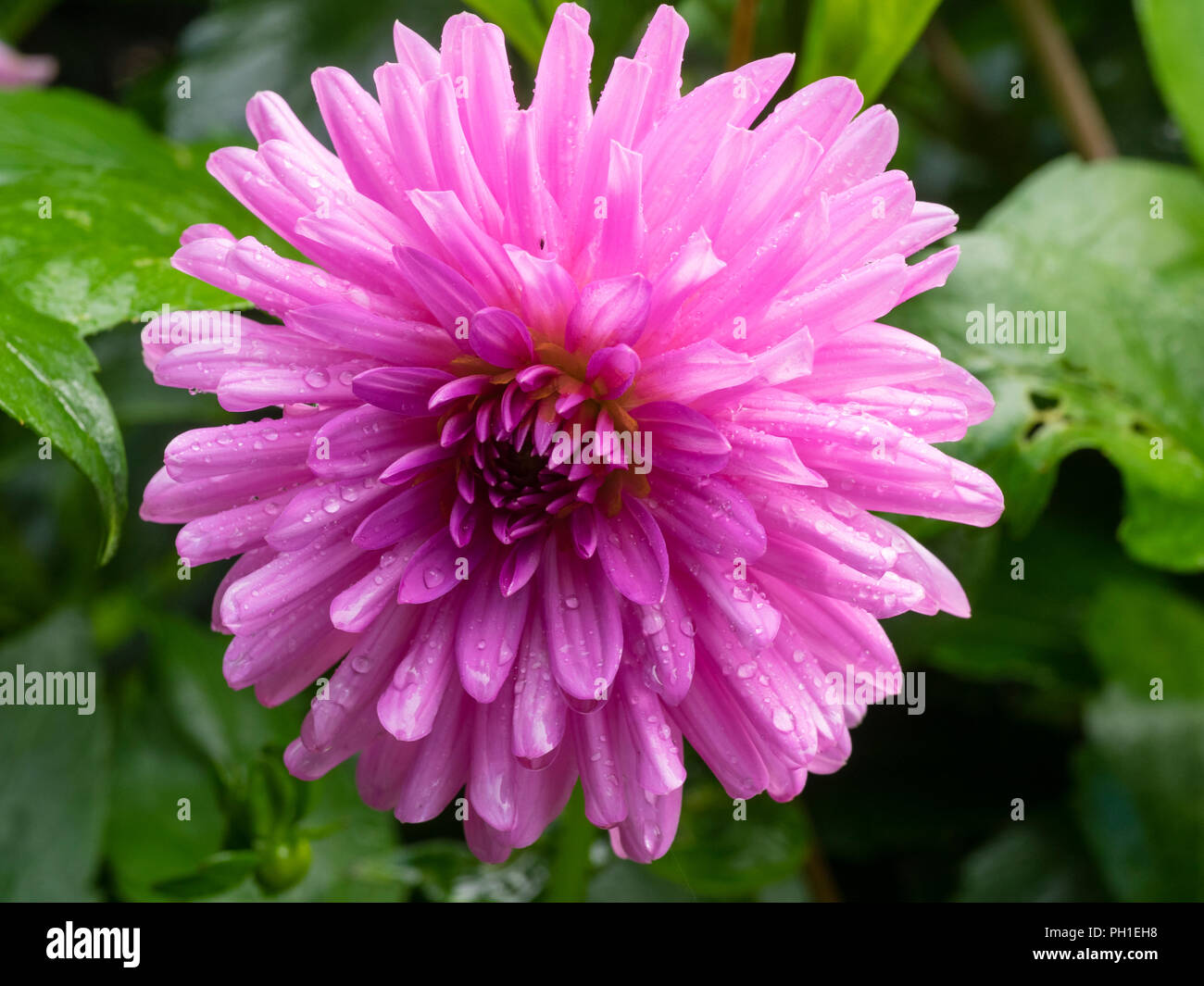 Semi Cactus Pink Flower Of The Summer Bloming Half Hardy Tuber