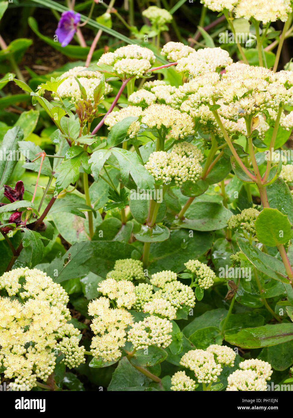 Pale, red tipped late summer flowers of the perennial Sedum, Hylotelephium telephium subsp. maximum 'Gooseberry Fool' - Stock Image