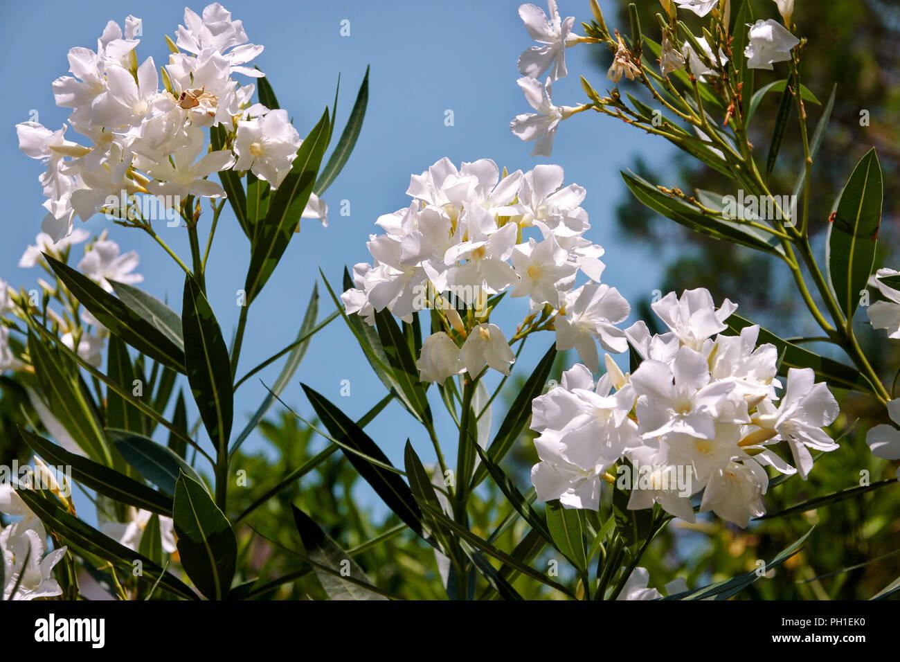 White Oleander Flowers Stock Photos White Oleander Flowers Stock
