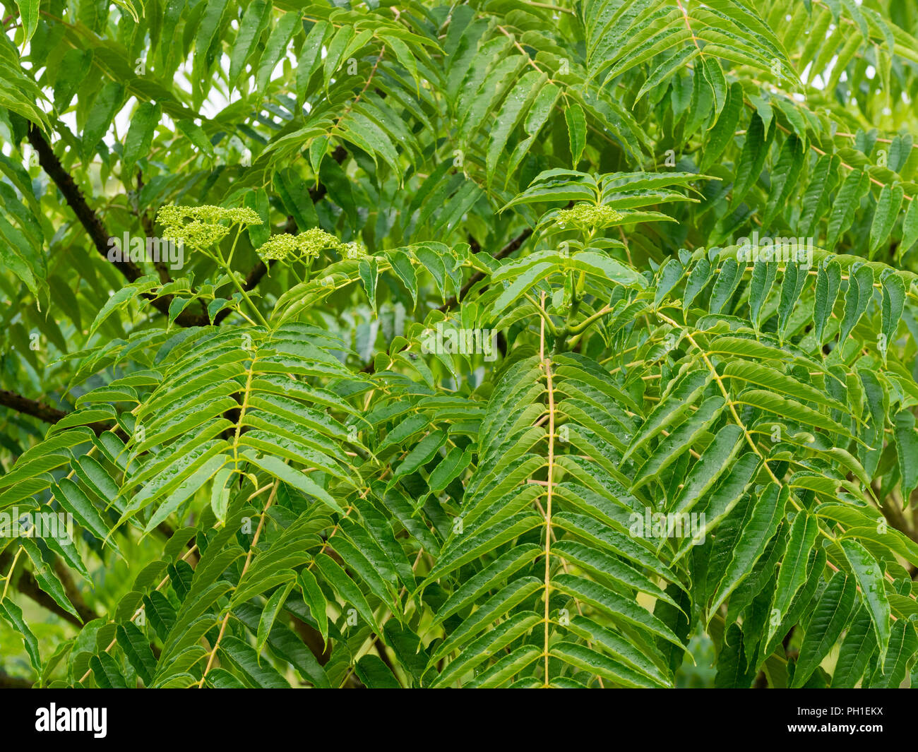Pinnate foliage and late summer flowers of the half hardy prickly ash tree, Zanthoxylum ailanthoides - Stock Image