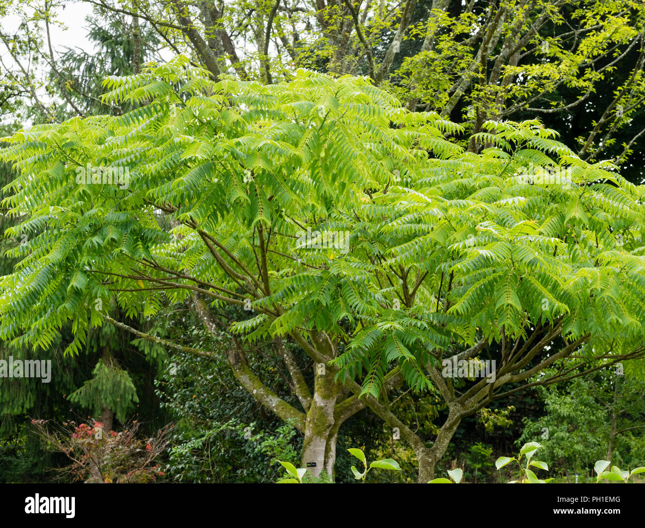 Pinnate foliage and spreading habit of the half hardy prickly ash tree, Zanthoxylum ailanthoides - Stock Image