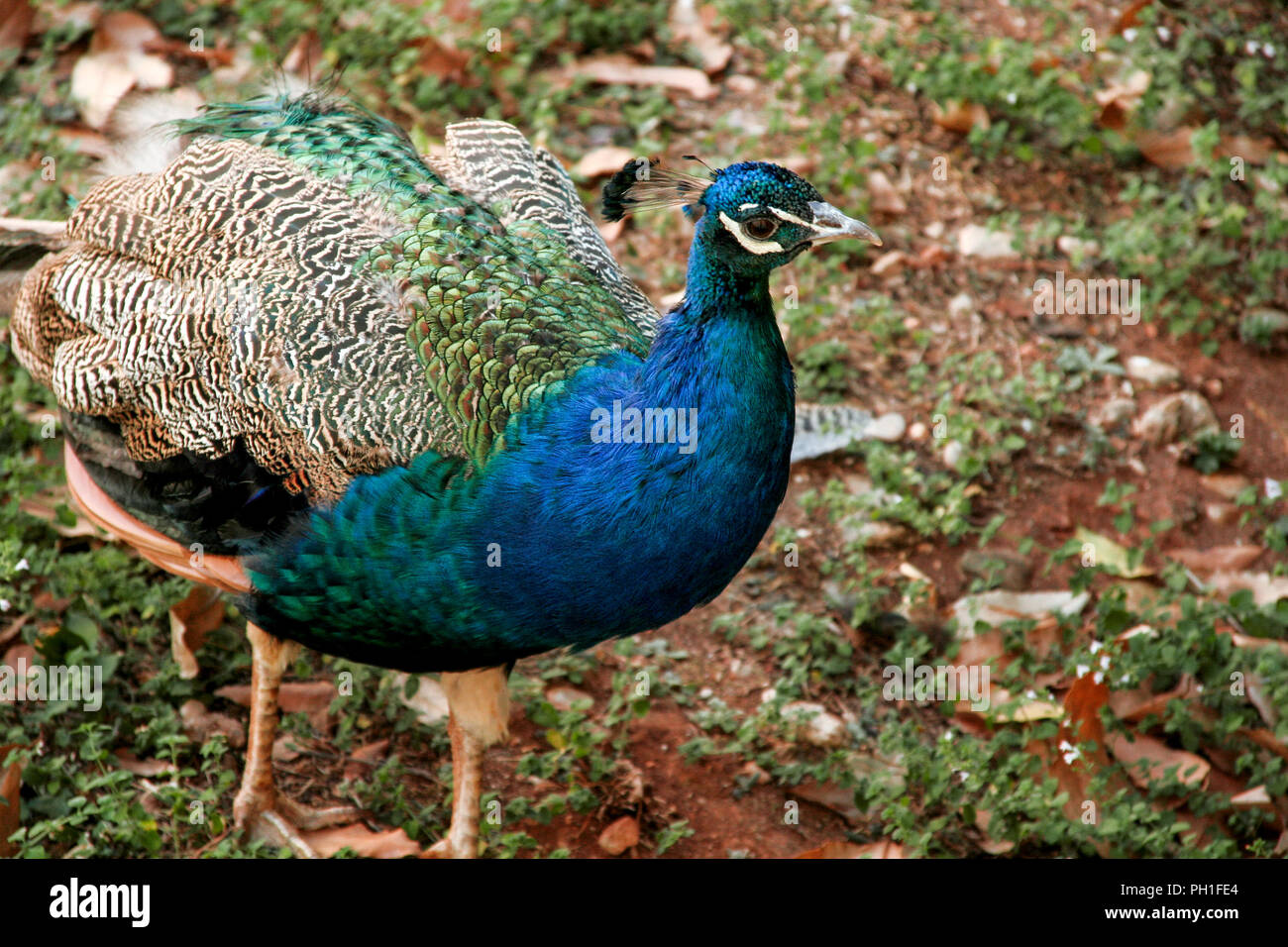 Peacock bird in nature. A beautiful bird of paradise peacock in the garden the natural environment. - Stock Image