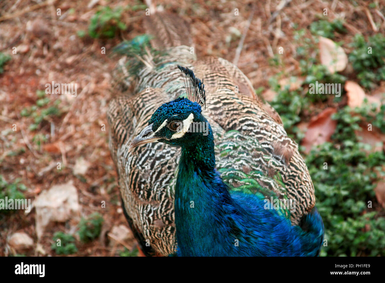 Peacock bird in nature, close up. A beautiful bird of paradise peacock in the garden the natural environment. - Stock Image