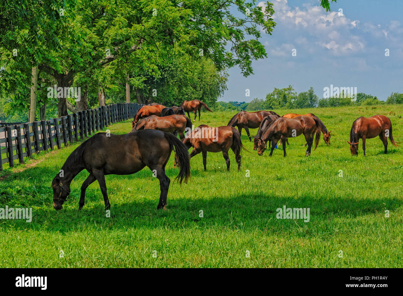 Thoroughbred Horses in Kentucky - Stock Image